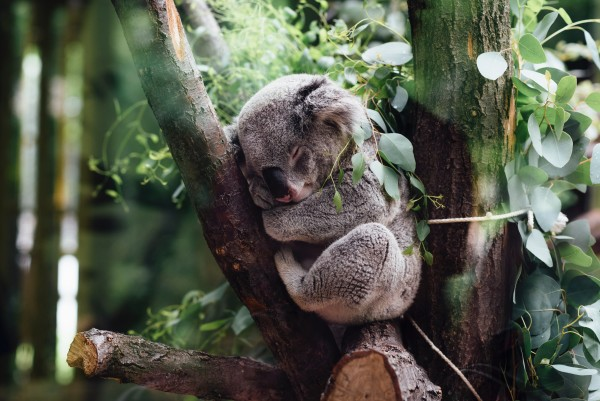 sleeping koala at Lone Pine